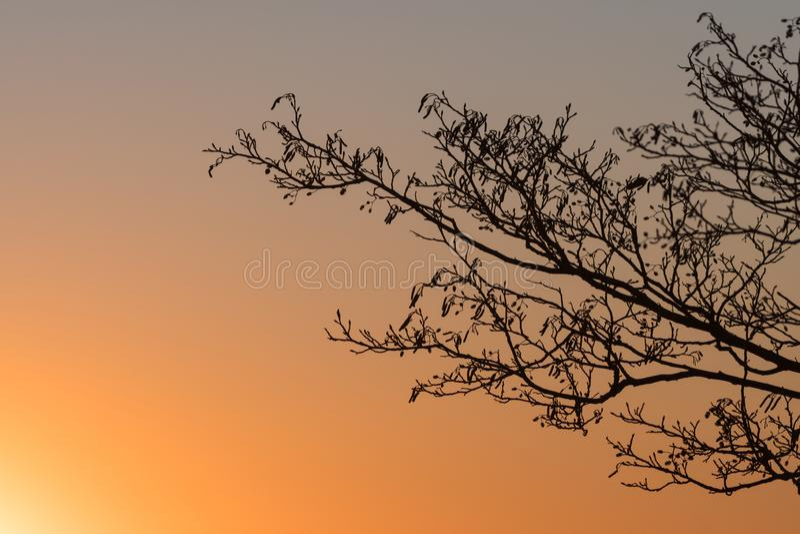 Rami di albero dell'ontano dal tramonto fotografia stock libera da diritti