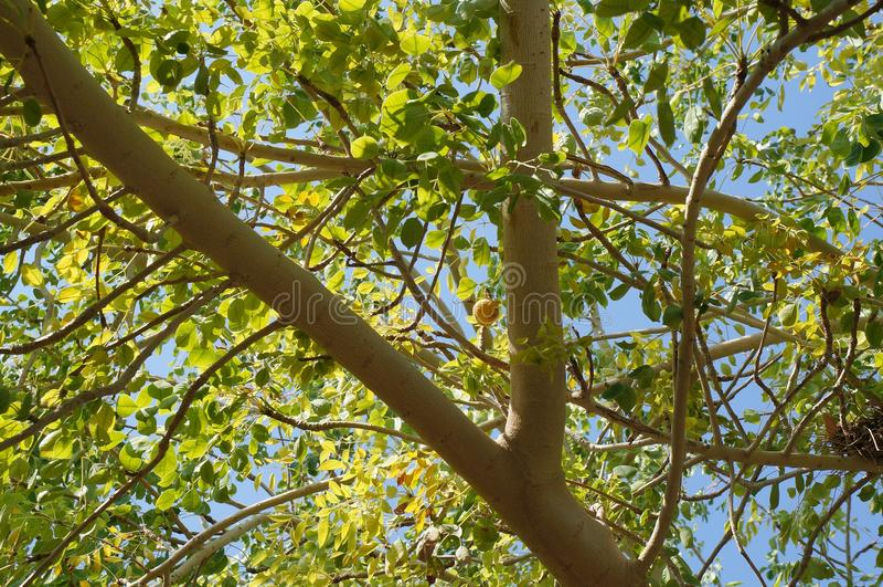 Rami di albero di Marula immagine stock libera da diritti