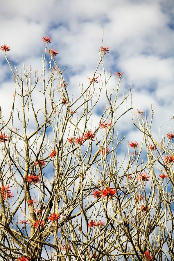 Rami di albero di Museo Dolores Olmedo con i fiori ed il cielo rossi con le nuvole immagine stock libera da diritti