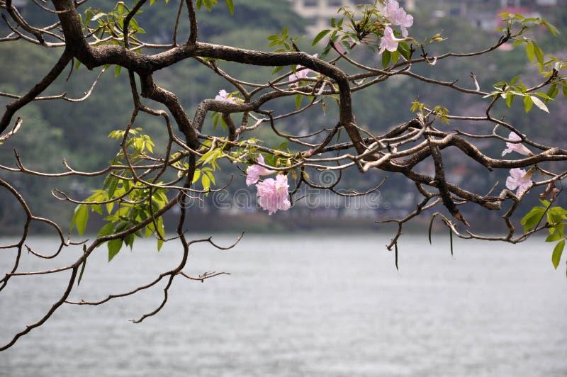 Rami di albero di rosea di Tabebuia con i fiori rosa immagini stock