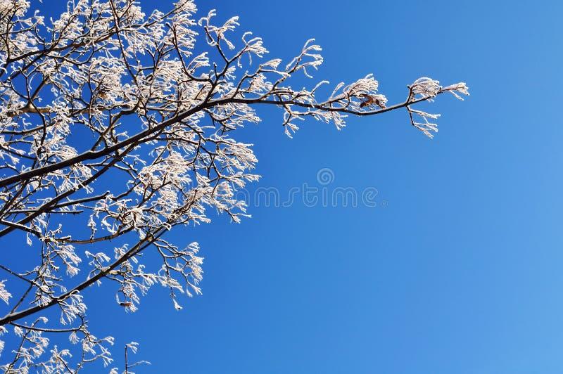 Rami di albero gelidi di inverno dell'albero di inverno contro il cielo soleggiato blu Fondo di inverno con spazio libero per tes immagine stock