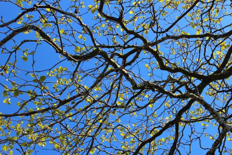 Rami di albero incorniciati da cielo blu fotografia stock