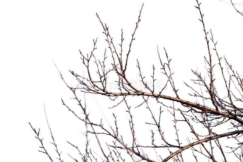 Rami di albero su un fondo bianco fotografia stock libera da diritti