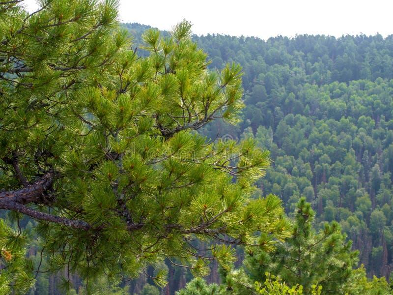 Rami di cedro siberiano conifero sui precedenti della foresta verde fotografia stock