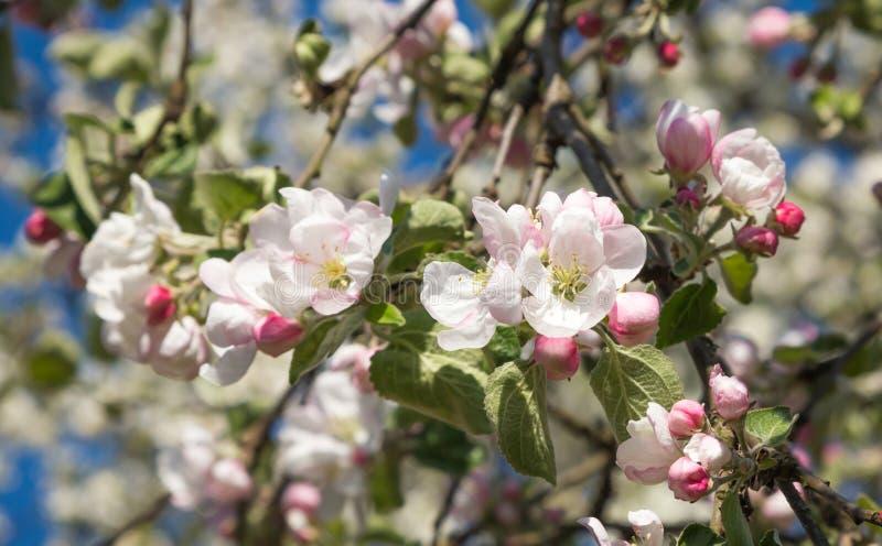 Rami di di melo sbocciante con i fiori bianchi e rosa fotografie stock