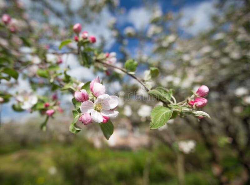 Rami di di melo sbocciante con i fiori bianchi e rosa fotografia stock