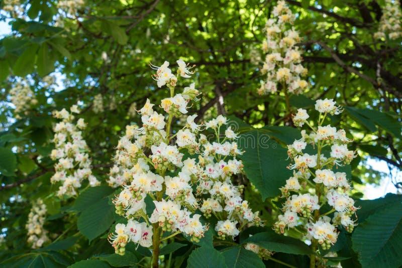 Rami di fioritura della castagna d'India in primavera fotografie stock