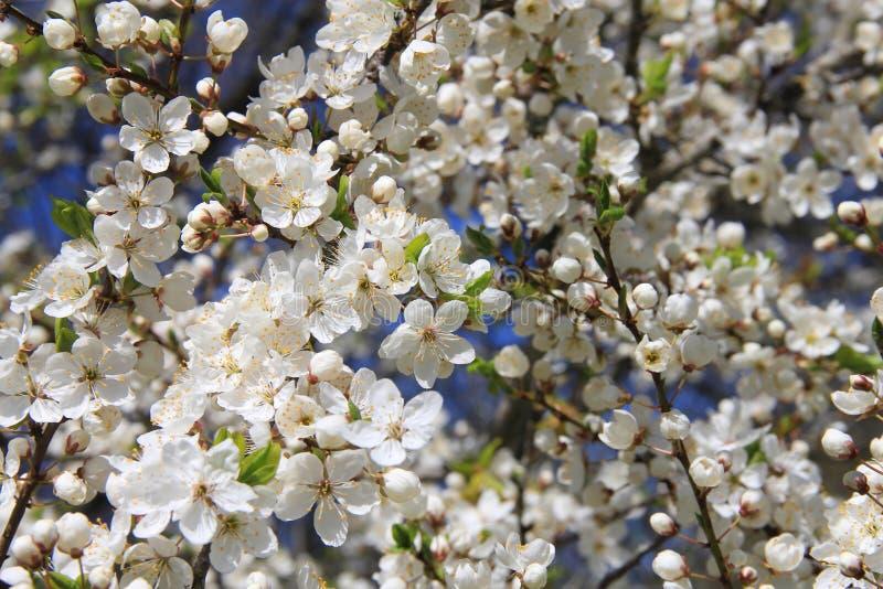 Rami di fioritura di melo in primavera contro cielo blu Fuoco molle immagini stock