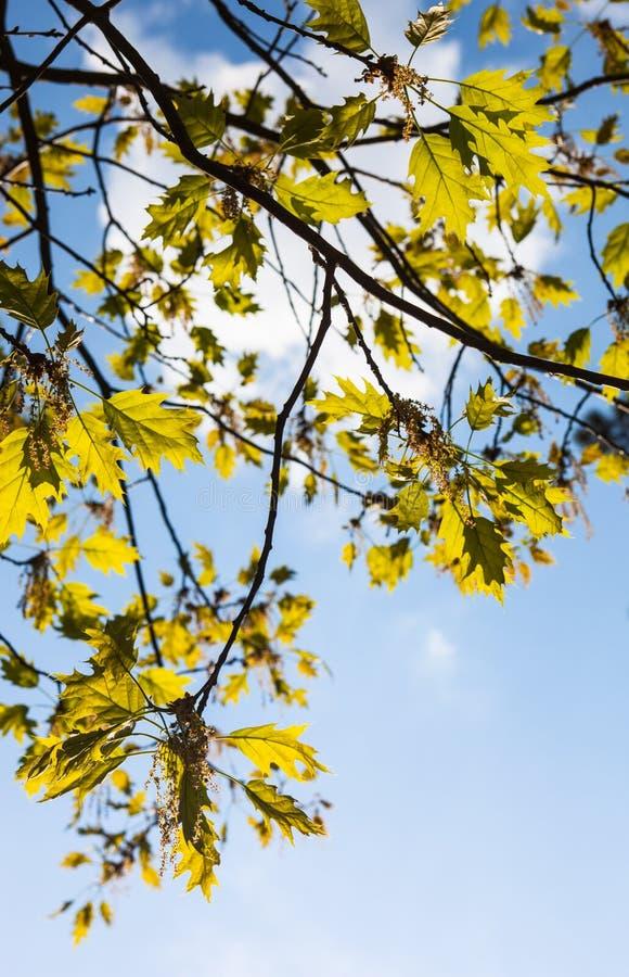 Rami di fioritura verdi della quercia fotografia stock libera da diritti