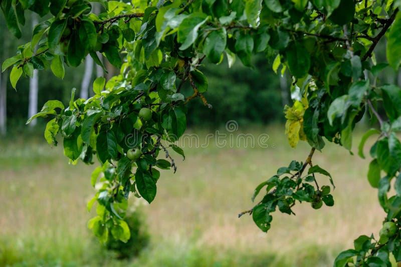 rami di melo nel giorno di estate verde con pioggia fotografia stock