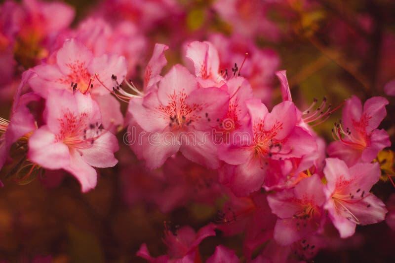 Rami di piccoli fiori viola e di rosa in priorità alta fotografia stock