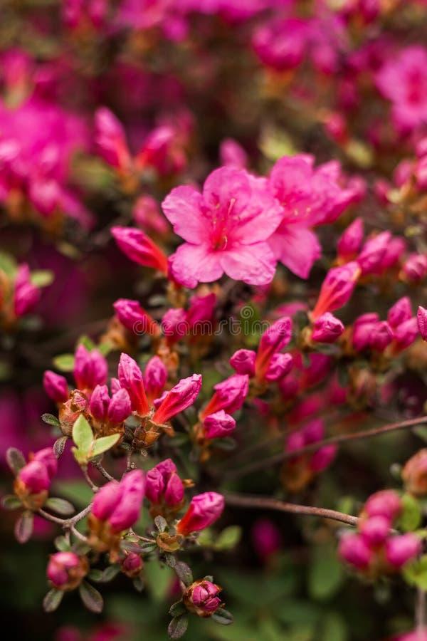 Rami di piccoli fiori viola e di rosa in priorità alta fotografie stock