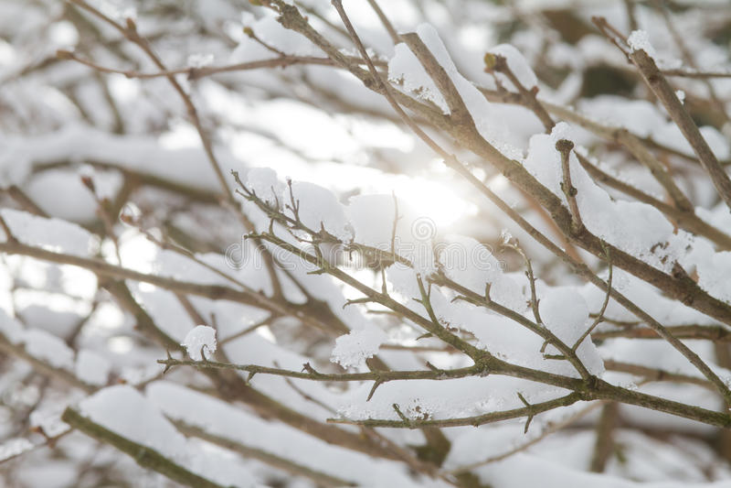 Rami di Snowy immagine stock libera da diritti