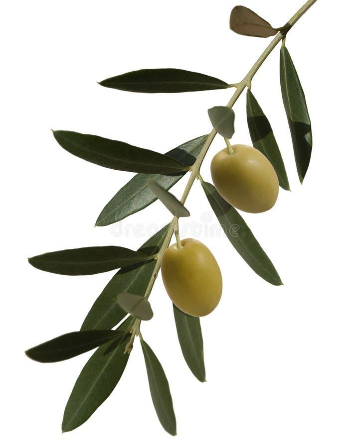 Rami di ulivo con due olive fotografia stock libera da diritti