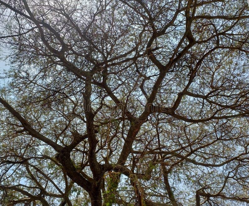 Rami di un albero dell'acacia immagini stock libere da diritti