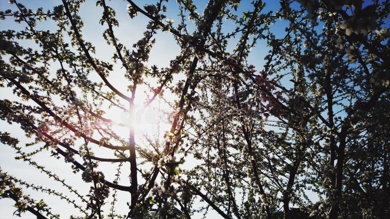 Rami di un albero sbocciante contro un cielo blu immagini stock