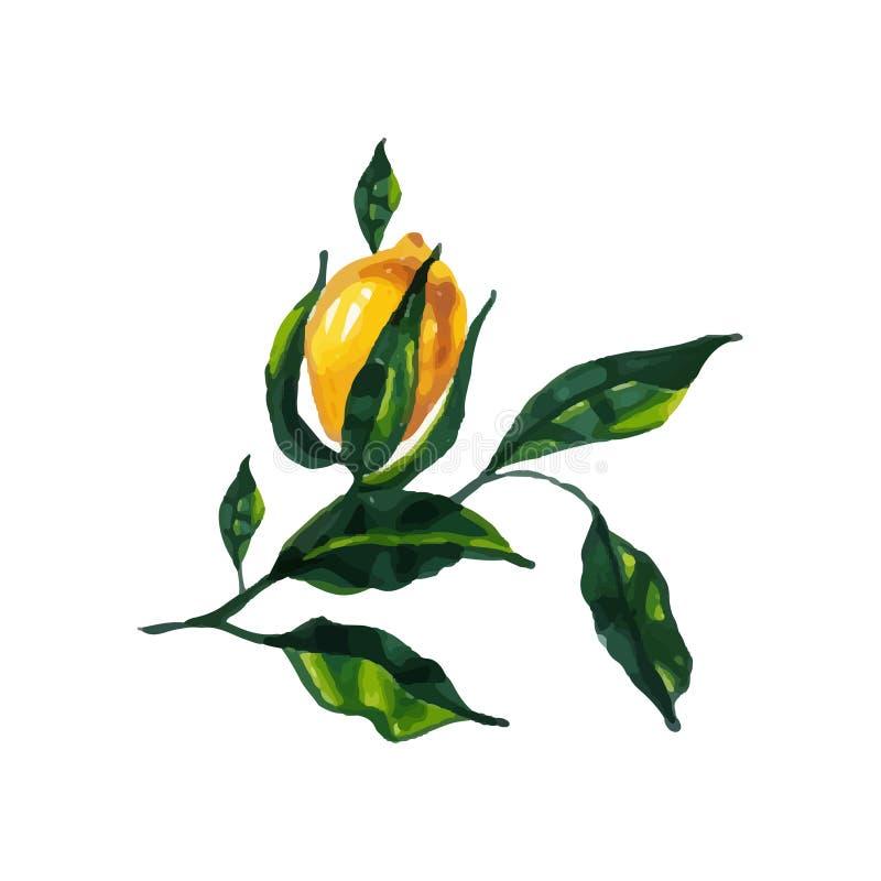 Rami disegnati a mano del limone dell'acquerello su bianco Modello per l'invito, cartolina d'auguri, grazie cardare, conservano l royalty illustrazione gratis