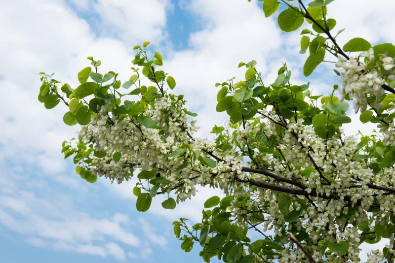 Rami e cielo blu di fioritura dell'acacia con la nuvola bianca come fondo immagine stock