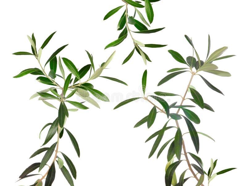 Rami freschi di olivo isolati fotografia stock libera da diritti
