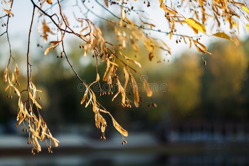 Rami gialli del tiglio in autunno Una latifoglia con le foglie dentate in forma di cuore ed il miele-colore fragrante immagine stock libera da diritti