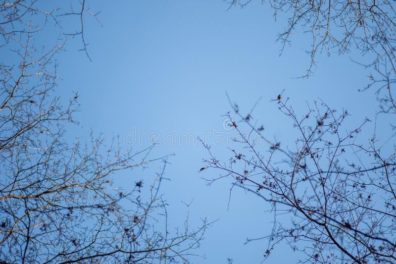 Rami nudi degli alberi contro cielo blu fotografia stock