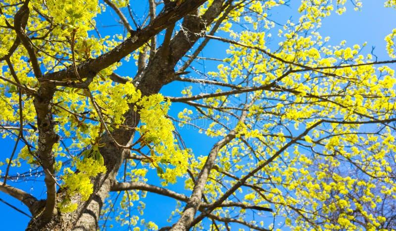 Rami sboccianti del tiglio con i fiori gialli immagini stock libere da diritti