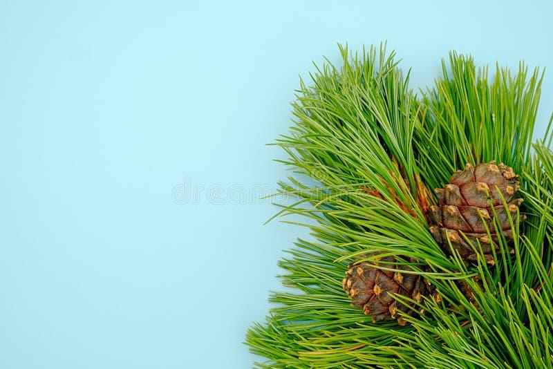 Rami sempreverdi naturali del cedro con i coni su fondo blu Modello per la vostra progettazione, invito, cartolina di vista super fotografie stock libere da diritti