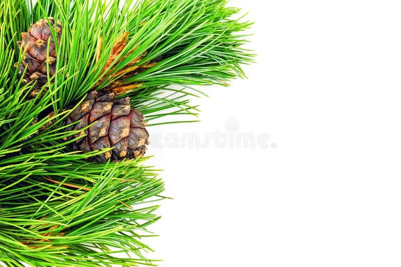 Rami sempreverdi naturali del cedro con il confine dei coni isolato su fondo bianco Modello di vista superiore dello spazio della immagine stock libera da diritti