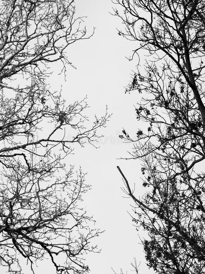 Rami senza foglie immagini stock libere da diritti