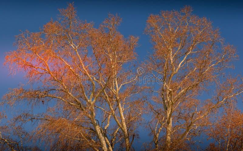 Rami sfrondati di un albero contro un cielo freddo di inverno immagine stock
