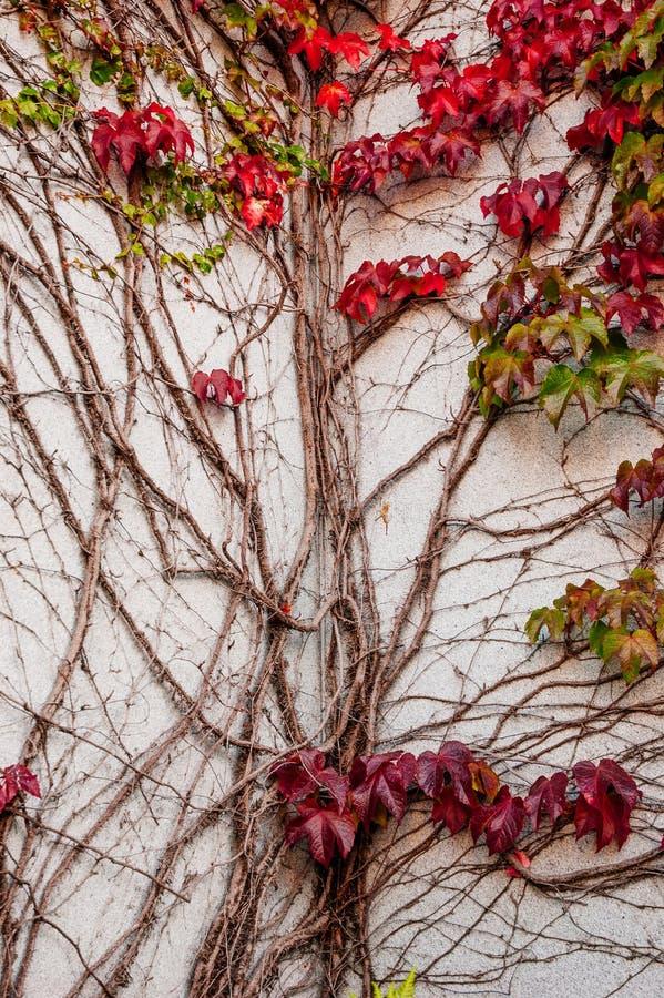 Rami terrificanti selvaggi dell'uva di Ampelopsis della vite Stagione di caduta vibrant immagine stock