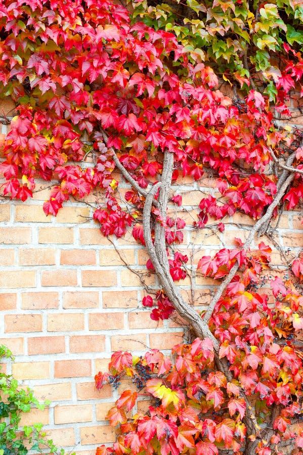 Rami terrificanti selvaggi multicolori dell'uva di Ampelopsis della vite Se di caduta fotografia stock