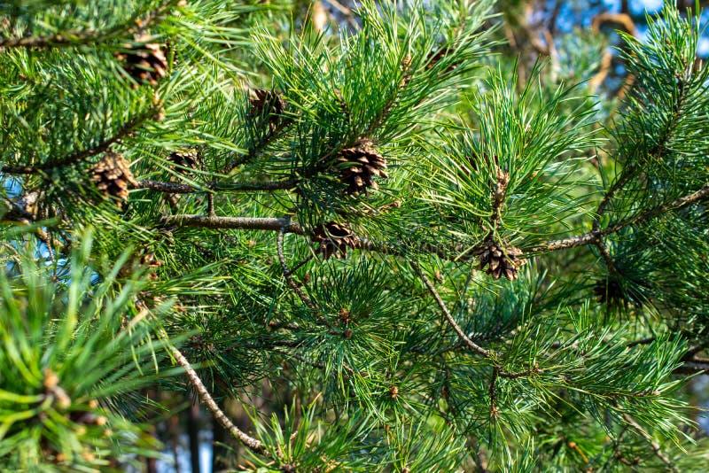 Rami verdi del pino con i coni immagini stock libere da diritti