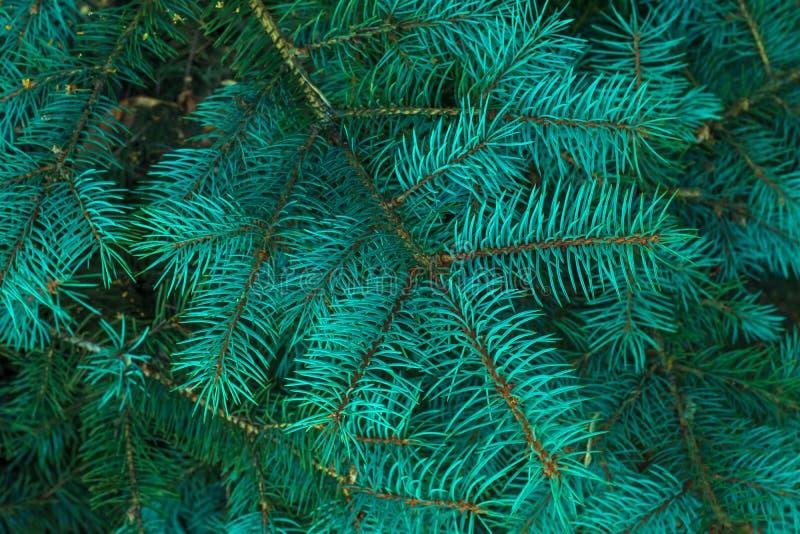Rami verdi dell'albero della pelliccia Ferie Abete di Natale Pagina del ramo blu del pino Fondo verde di natale Needl conifero immagini stock libere da diritti