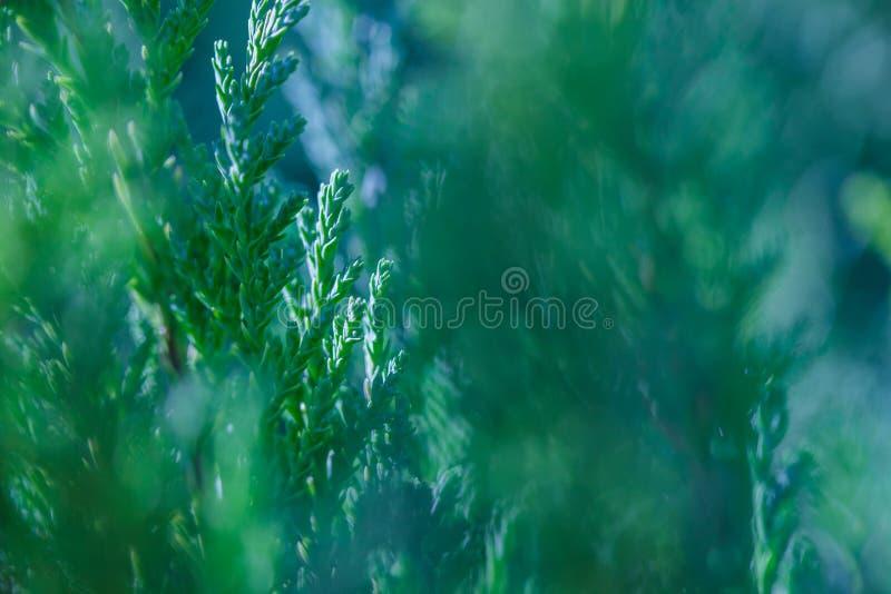 Rami verdi delle piante sempreverdi dell'arbusto del ginepro con profondità di campo bassa durante il giorno di inverno immagini stock
