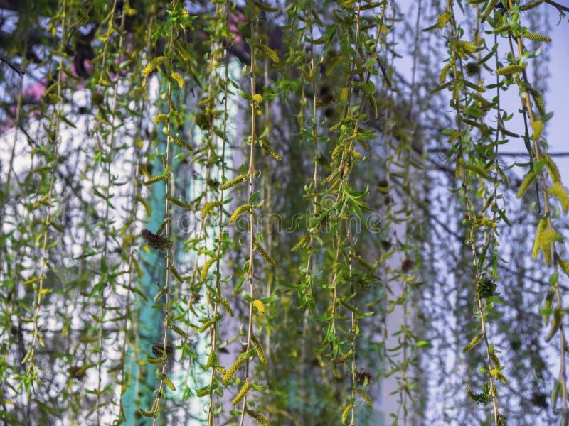 Rami verdi di fioritura del salice fotografia stock