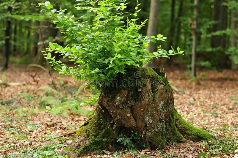 Rami verdi freschi che crescono dal ceppo di albero fotografie stock libere da diritti