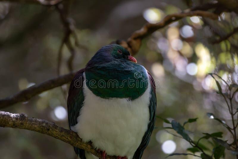 Ramier de Kereru Nouvelle-Zélande images stock