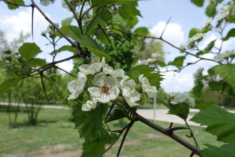 Ramificação de Crataegus submollis com flores brancas imagem de stock royalty free