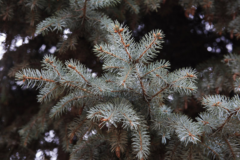 Ramifica a árvore de abeto foto de stock