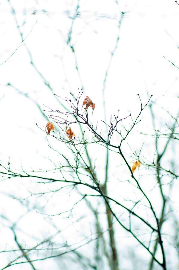 Ramificación de árbol con las hojas rojas fotos de archivo