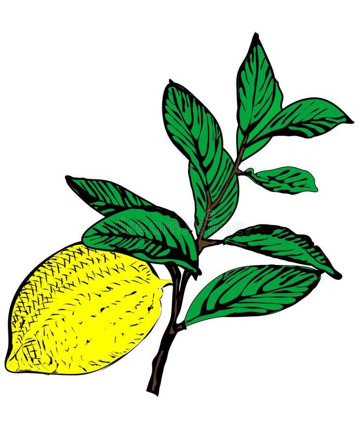 Ramificación de árbol de limón del vector fotos de archivo libres de regalías