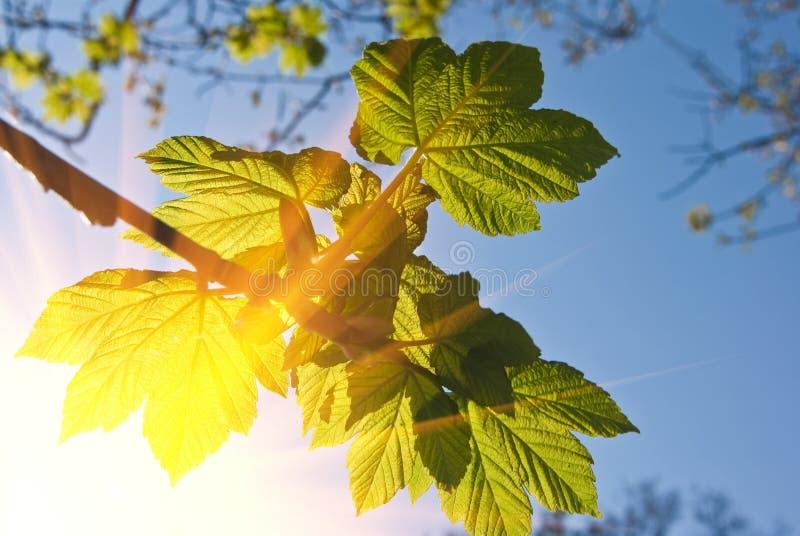 Ramificación de árbol en rayos del sol foto de archivo libre de regalías