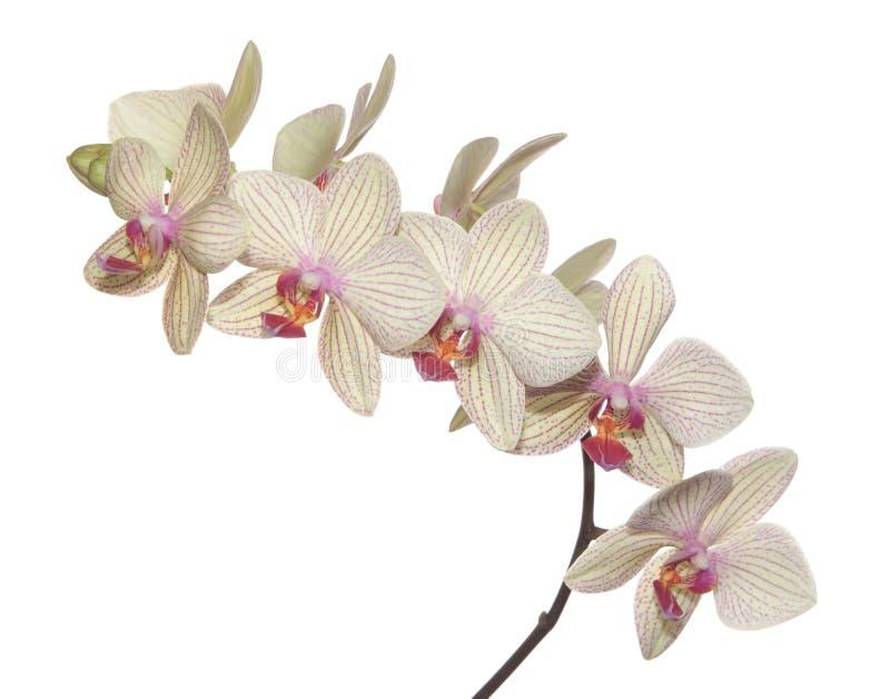 Ramificación de la orquídea foto de archivo