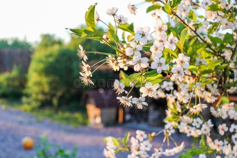 Ramificación de las flores de cerezo foto de archivo