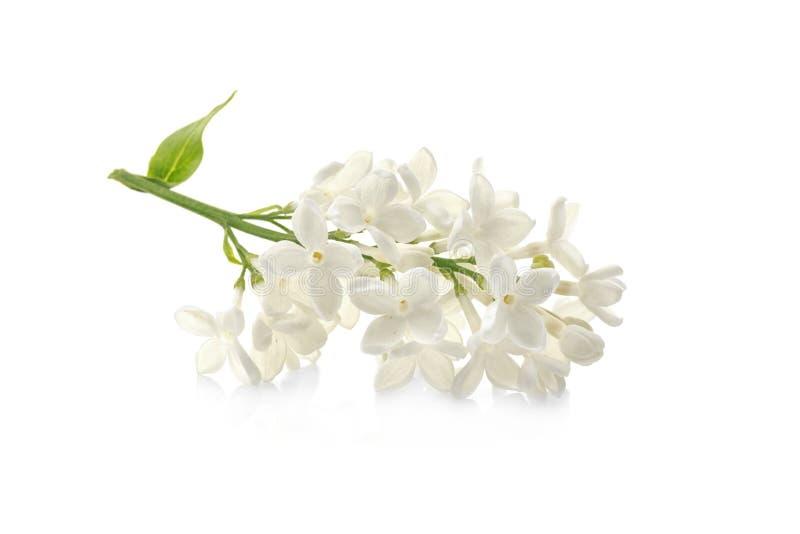 Ramificación de las flores de la lila foto de archivo