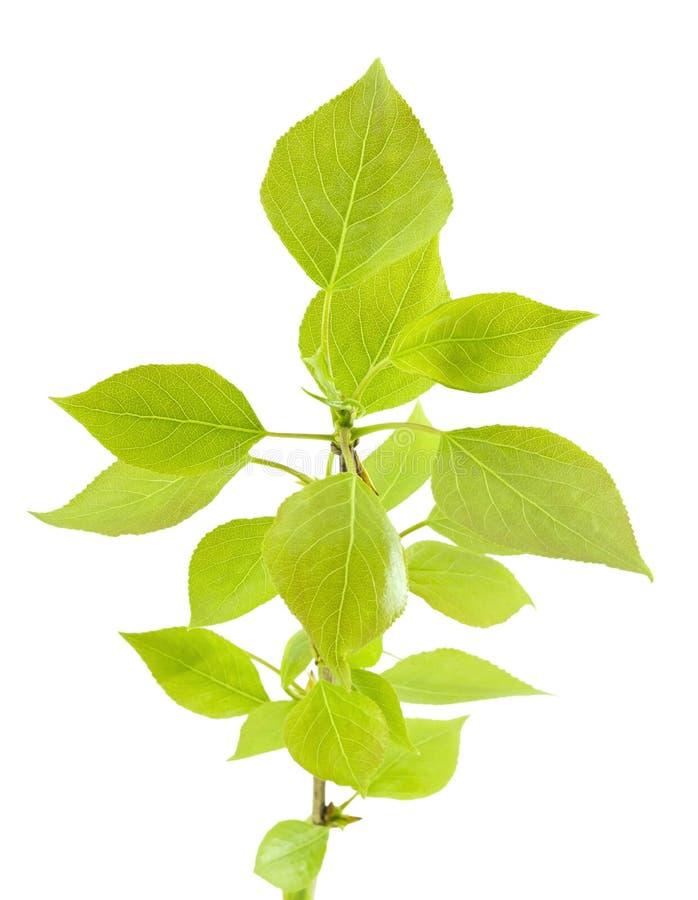Ramificación de Popla con las hojas verdes. imágenes de archivo libres de regalías