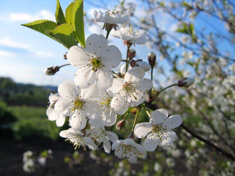 Ramificación de un árbol floreciente imágenes de archivo libres de regalías