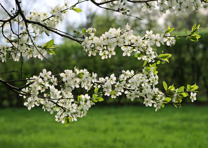 Ramificación de un árbol floreciente fotos de archivo
