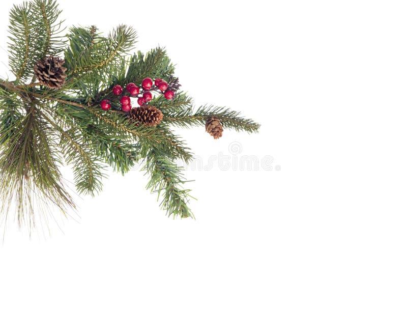 Ramificación del árbol de abeto con los conos y las bayas rojas foto de archivo libre de regalías